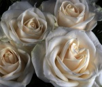 An embarrasment of white roses, Photography by Steve Rossman