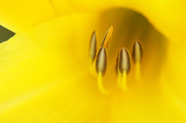 Yellow Lily. Photograph by Steve Rossman