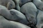 Elephant seal herringbone huddle. WIldlife photography by Steve Rossman.