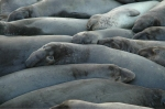 Elephant seal horizontal huddle. Wildlife photography by Steve Rossman