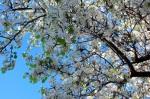 Flowering Evergreen Pear tree along E. 5th Avenue in Escondido. Photo by Steve Rossman