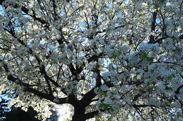 Backlit Flowering Pear tree along 6th ave in Escondido. Photo by Steve Rossman