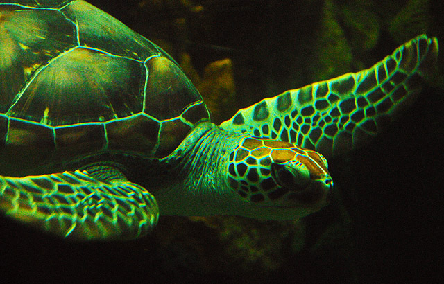 Sea turtle at Sea World. Photography by Steve Rossman