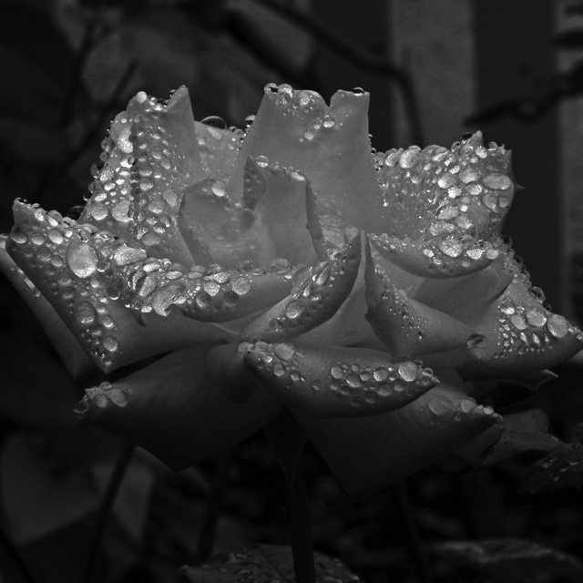 Rose in the rain 1. Photography by Steve Rossman.