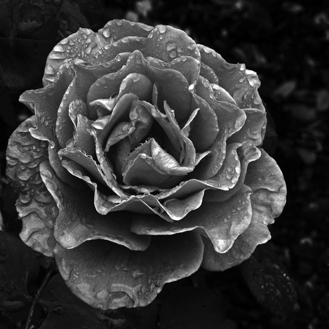 Rose in the rain 2. Photography by Steve Rossman.