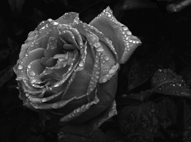 Rose in the rain 3.  Photography by Steve Rossman.
