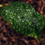 Rose leaf in the rain. Photography by Steve Rossman