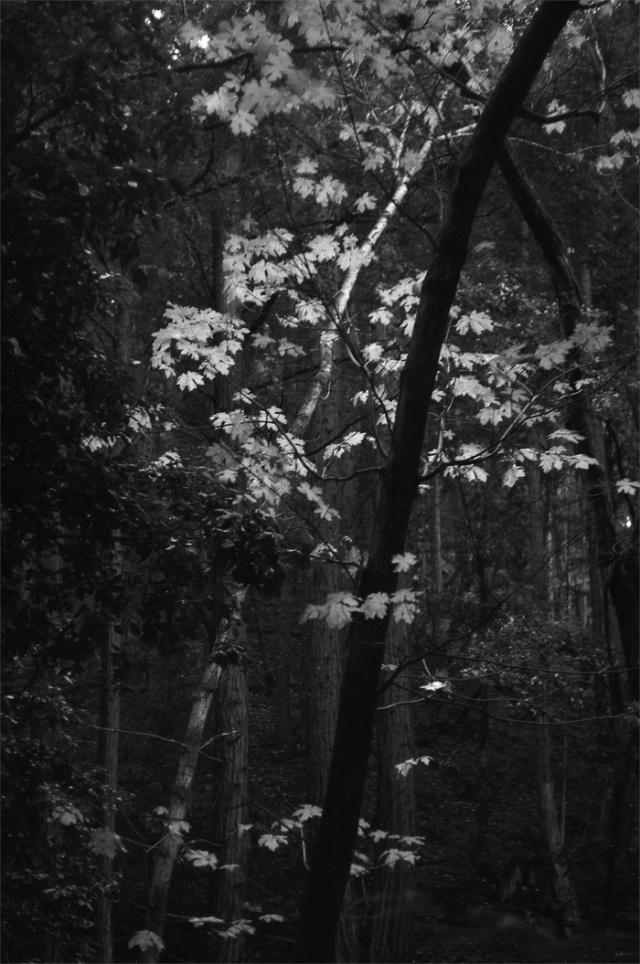 crossed trees - sunlight on birch leaves