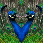 Valentine Fictional Peacocks = Photoshop manipulation by Steve Rossman