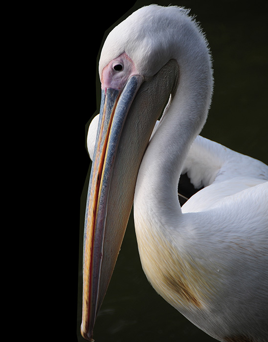 White pelican - Audobon Zoo. Photography by Steve Rossman