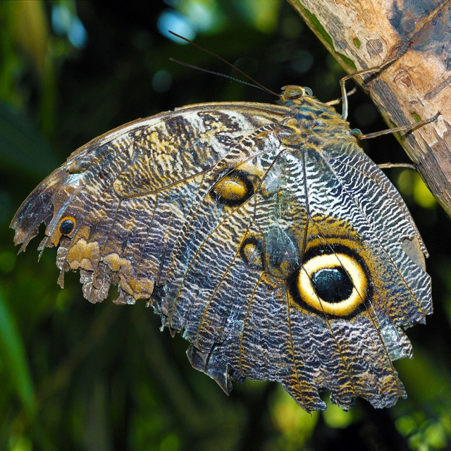 Giant_Owl_Butterfly_with_Tattered_Wings.  Photography by Steve Rossman