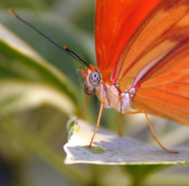 Orange Julia Butterfly-vey close. Photography by Steve Rossman