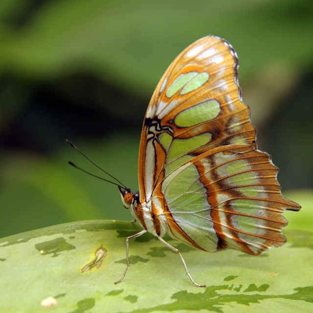 Varigated Butterfly. Photography by Steve Rossman