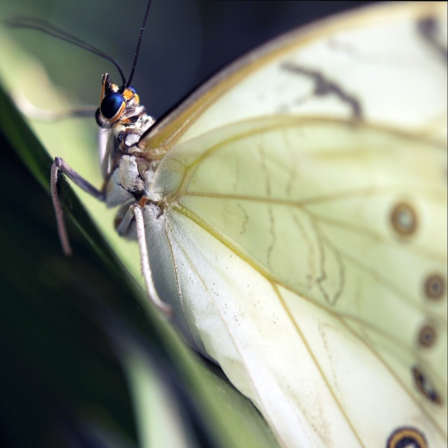 White linen Butterfly.  Photography by Steve Rossman