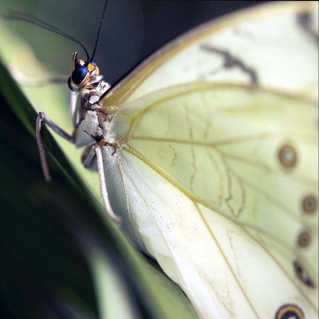 White linen Butterfly.  Photography by Steve Rossman