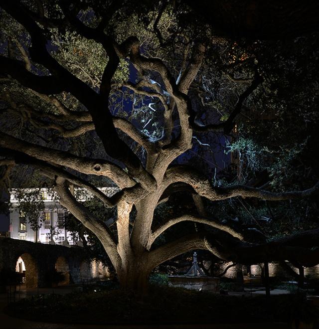 Alamo Live oak for blog