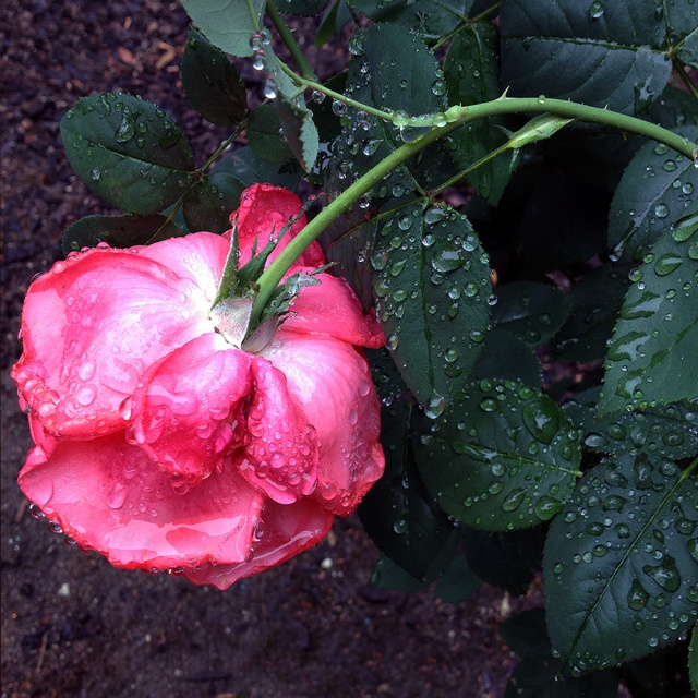 Roses in the rain. Photography by Steve Rossman