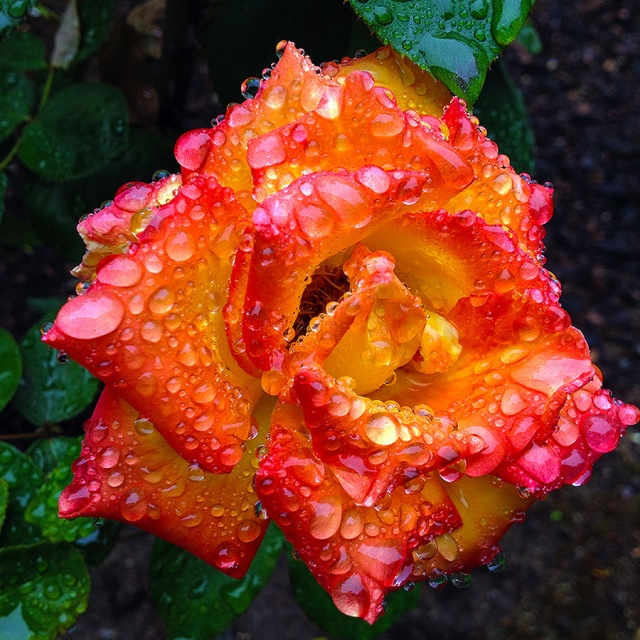 Raindrops_on_flaming_rose-1000x72