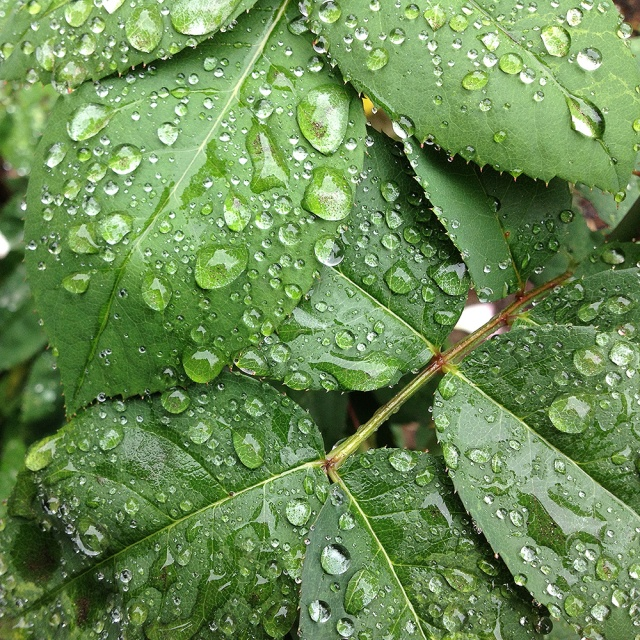 Raindrops_on_rose_leaves-1000x72